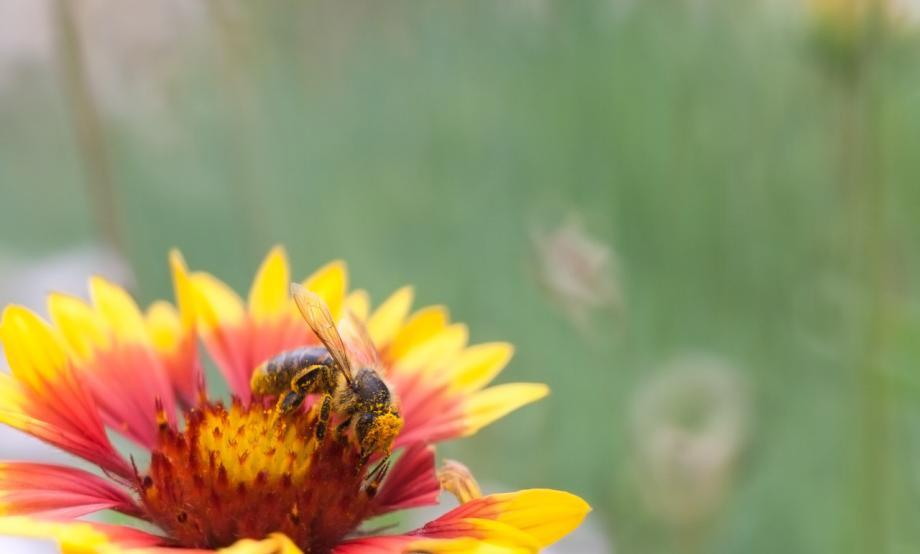 Bee in flower with pollen