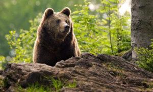 bear-in-the-woods-300x181.jpg